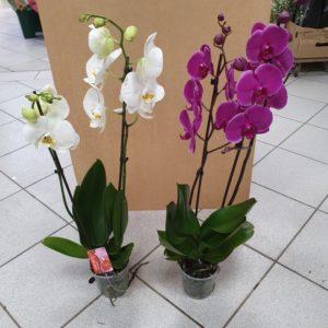 Orchidée PHALAENOPSIS 75 cm 2 Branches