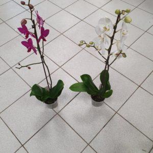 Orchidée PHALAENOPSIS 80 cm